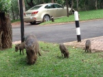warthogs outside our hotel at Victoria Falls